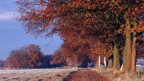 leaves falling from oak trees in autumn Stock Video Footage