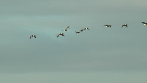greylag geese flying in line Footage