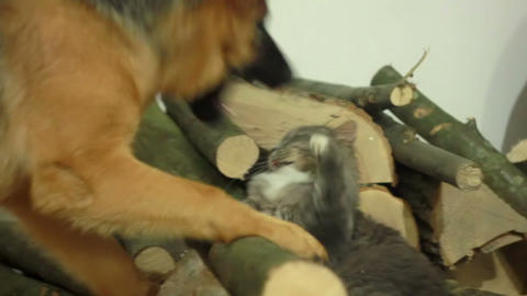 Cat and Dog Stock Video Footage