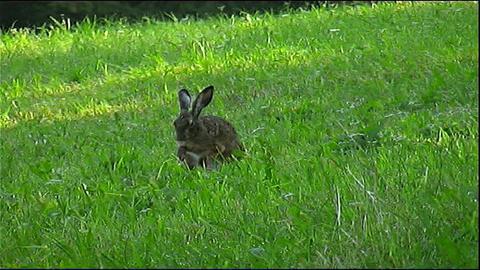 Rabbit Footage