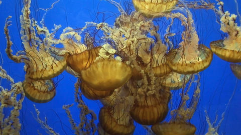 Jellyfish Stock Video Footage