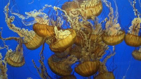 Jellyfish Footage