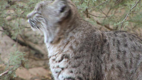 Bobcat Stock Video Footage