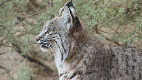 Bobcat stock footage