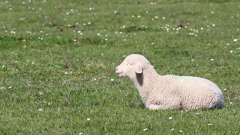 lamb on green pasture Stock Video Footage