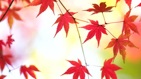 Red Leaves_ Autumn_Japan stock footage