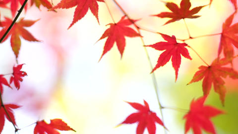 Red leaves_ Autumn_Japan Stock Video Footage