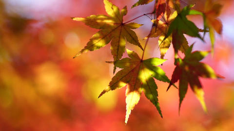 Autumn red leaves_ sunlight filtering through tree Stock Video Footage