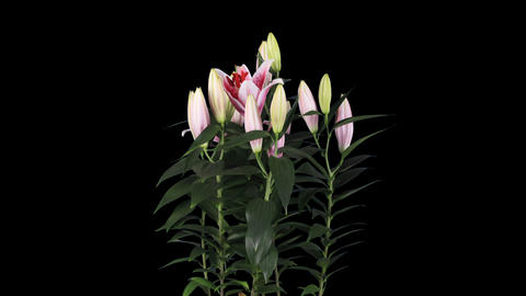 Blooming pink lily flower buds ALPHA matte, FULL H Stock Video Footage