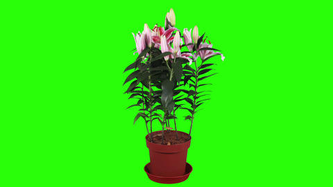 Blooming pink lily flower buds green screen, FULL Footage