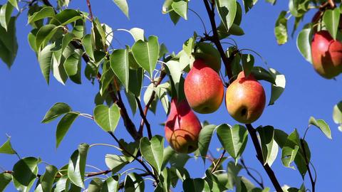 ripe pears Stock Video Footage