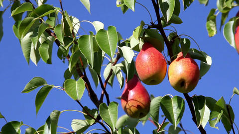 ripe pears Stock Video Footage