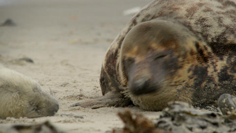 female grey seal smells at her pup 11230 Footage