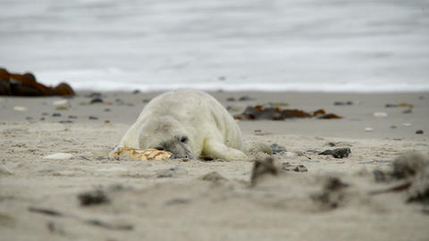grey seal pup playing 11232 Stock Video Footage