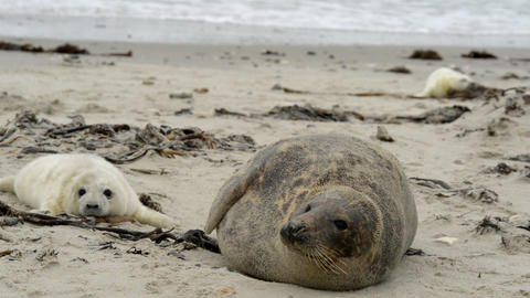 grey seal mother with pup 11236 Stock Video Footage