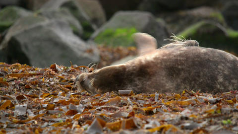 young grey seals measure their forces 11238 Stock Video Footage