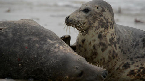 grey seals during mating ritual 11240 Stock Video Footage