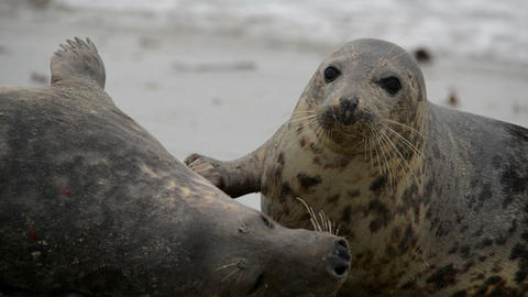 grey seals during mating ritual 11240 Footage