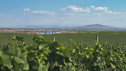 Tracking shot of a vineyard with hilly background Footage