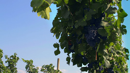 Tracking Shot On Grapevine Plants In A Vineyard Pl stock footage