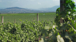 Tracking shot of a vineyard with hilly background Stock Video Footage