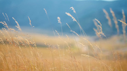 Yellow grass swaying on the wind, tracking shot Stock Video Footage