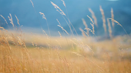 Yellow grass swaying on the wind, tracking shot Footage