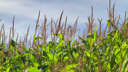 Cornfield stalks swaying in the breeze Footage