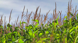 Cornfield stalks swaying in the breeze Stock Video Footage