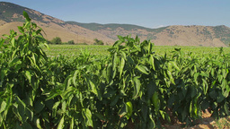 Green pepper farm, tracking shot Stock Video Footage