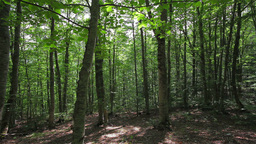 Tracking shot in a thick deciduous forest Stock Video Footage