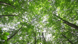 Low angle tracking shot in a thick deciduous fores Stock Video Footage