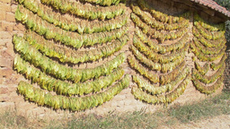 Traditional way of tobacco drying Stock Video Footage