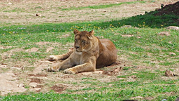 Lioness female lion feline watching resting sittin Footage