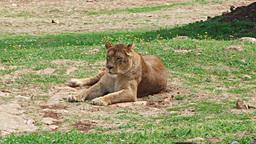 Lioness female lion feline watching resting sittin Stock Video Footage