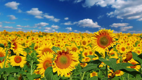 flowering sunflowers on a background cloudy sky Stock Video Footage