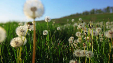a walk in dandelions Footage