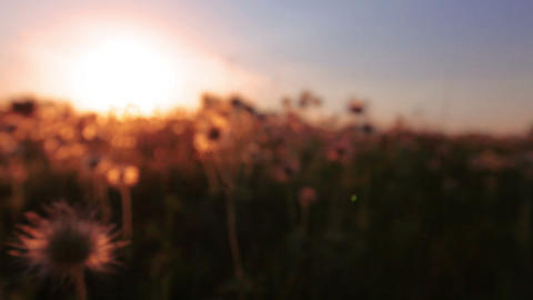 fluffy flowers - sunset Stock Video Footage