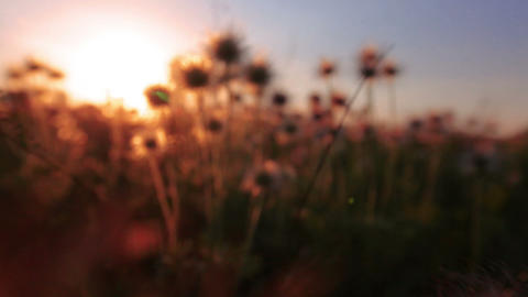 fluffy flowers - sunset Footage
