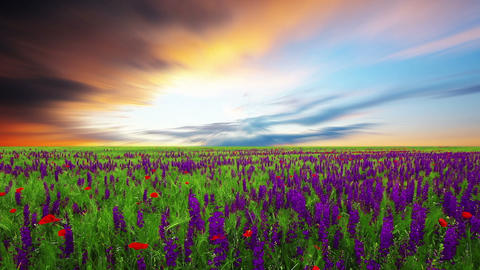 field of spring flowers at sunset Footage