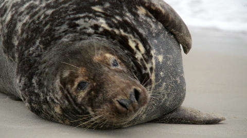 big male grey seals close 11242 Stock Video Footage