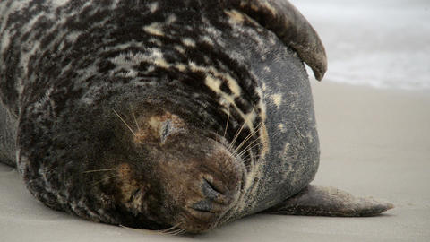 big male grey seals close 11242 Stock Video Footage