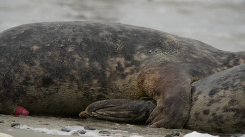 grey seals during propagation 11246 Stock Video Footage