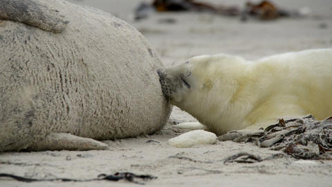 grey seal pup searching for milk close 11248 Stock Video Footage