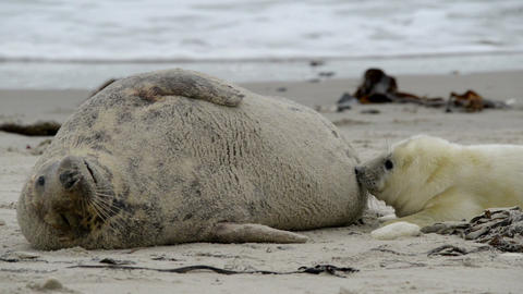 grey seal pup searching for milk wide 11249 Stock Video Footage