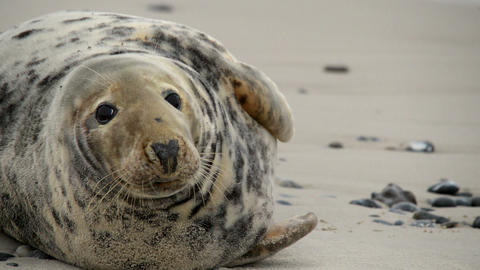 female grey seal close 11251 Stock Video Footage