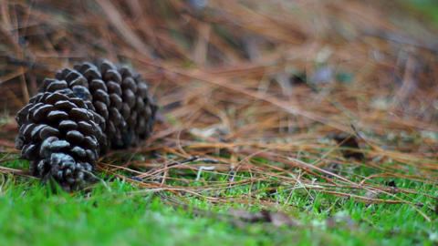 Pine Cone In The Grass Dolly stock footage