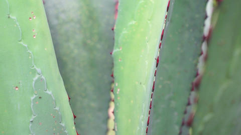 Agave Closeup Dolly Stock Video Footage