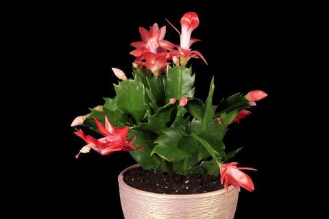 4K. Epiphytic cactus. Red schlumbergera flower bud Footage