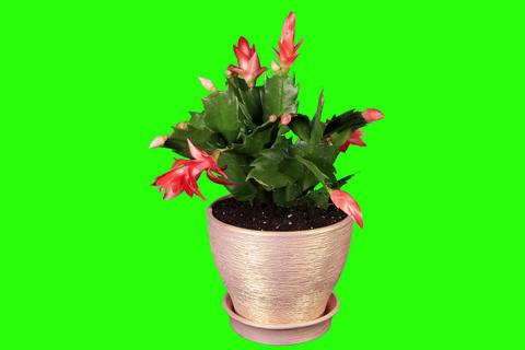 4K. Epiphytic cactus. Red schlumbergera flower bud Stock Video Footage